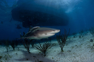 A lone Lemon shark circles under the Dolphin Dream by Stew Smith 